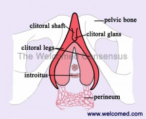 Internal Female Anatomy with the Clitoris, Frontal View
