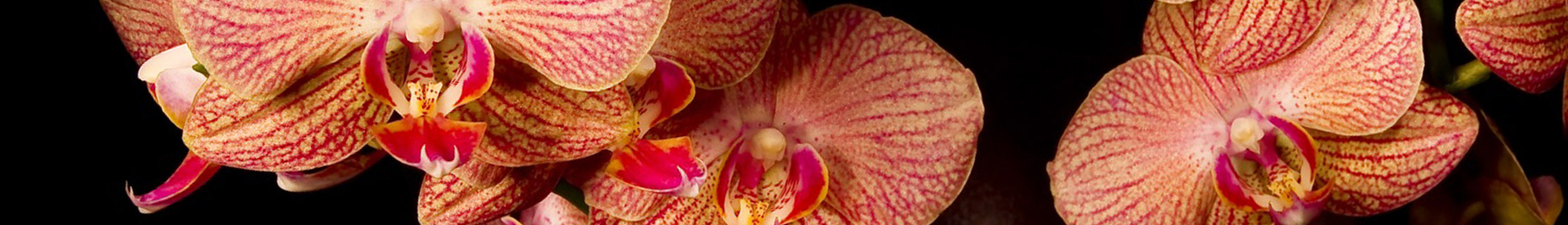 orchid resembles female clitoris